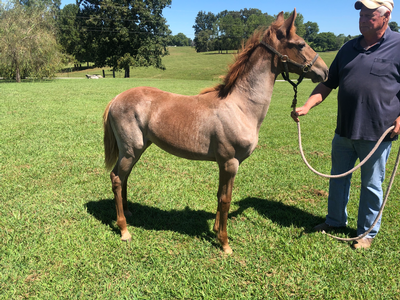 **Classic Red Roan filly**