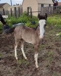 2020 Perfect Hawk Filly